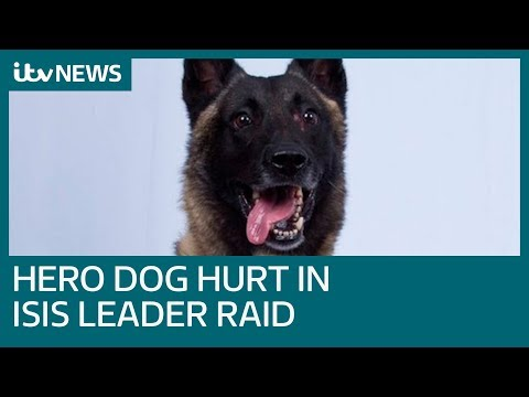 Hero dog back on the job after being wounded in al-Baghdadi raid | ITV News