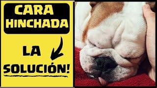 Perros cara hinchadas benadryl para
