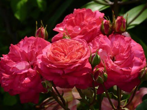 Правила при пересадке роз осенью!!! Как подготовить розу к пересадке.