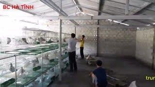 quy trình xây dựng trang trại nuôi bồ câu pháp, giạng công nghiệp - bồ câu hà tĩnh