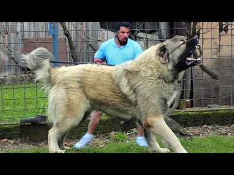 Alabai king of the steppes. Killer Dogs