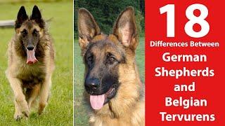 German Shepherd vs Belgian Tervuren: 18 Differences