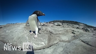 360° video: In an Adelie Penguin breeding colony in the Antarctic
