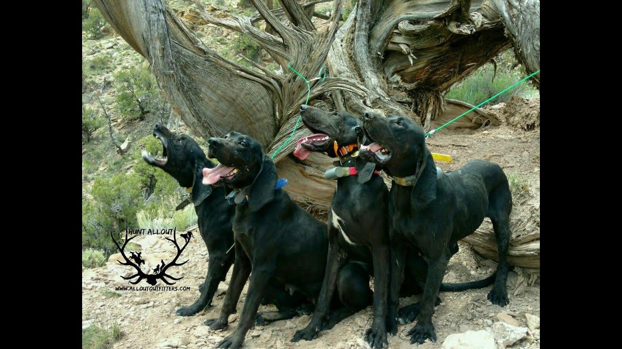 Hounds likewise 2  ment Good Riddance To British Bulldogs moreover Wanderinginwellington wordpress likewise American Foxhound furthermore Plott Hound. on hound trailing
