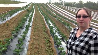 Green Field Farms - Kale