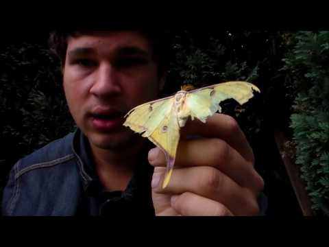 Bart talks: thoughts and general info on Saturniidae (silkmoths)