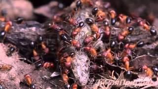 ЖЕСТЬ КОШМАР УЖАС!!! Муравьи заживо сожрали ящерицу !!! 2015