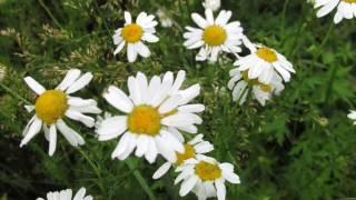 Полевые цветы. Природа в Омске.(Это видео создано в редакторе слайд-шоу YouTube: http://www.youtube.com/upload., 2016-07-13T19:17:38.000Z)