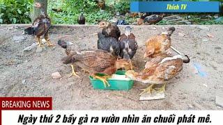 Ngày thứ 2 bầy gà thả ra vườn ăn chuối nhìn phát mê của Thích TV.T10