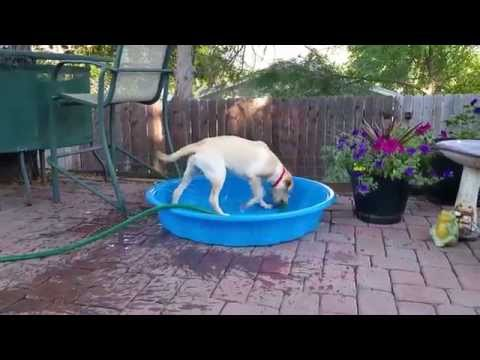 Will Someone Help This Labrador?