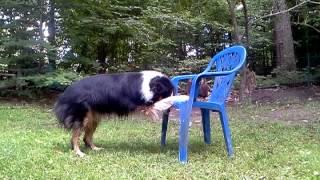 38 Epic Dog Tricks With Sir Kodiak Bear The Intelligent Aussie