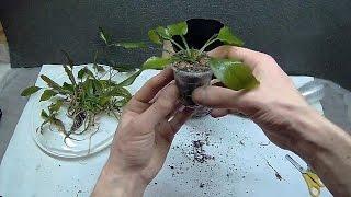 Аквариумные растения, как посадить в землю.