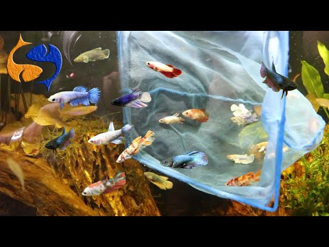 30 Bettas Added To Aquarium, The Largest Betta Sorority On YouTube?