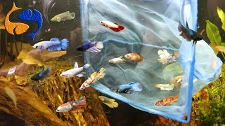 30 Bettas Added To Aquarium, T…
