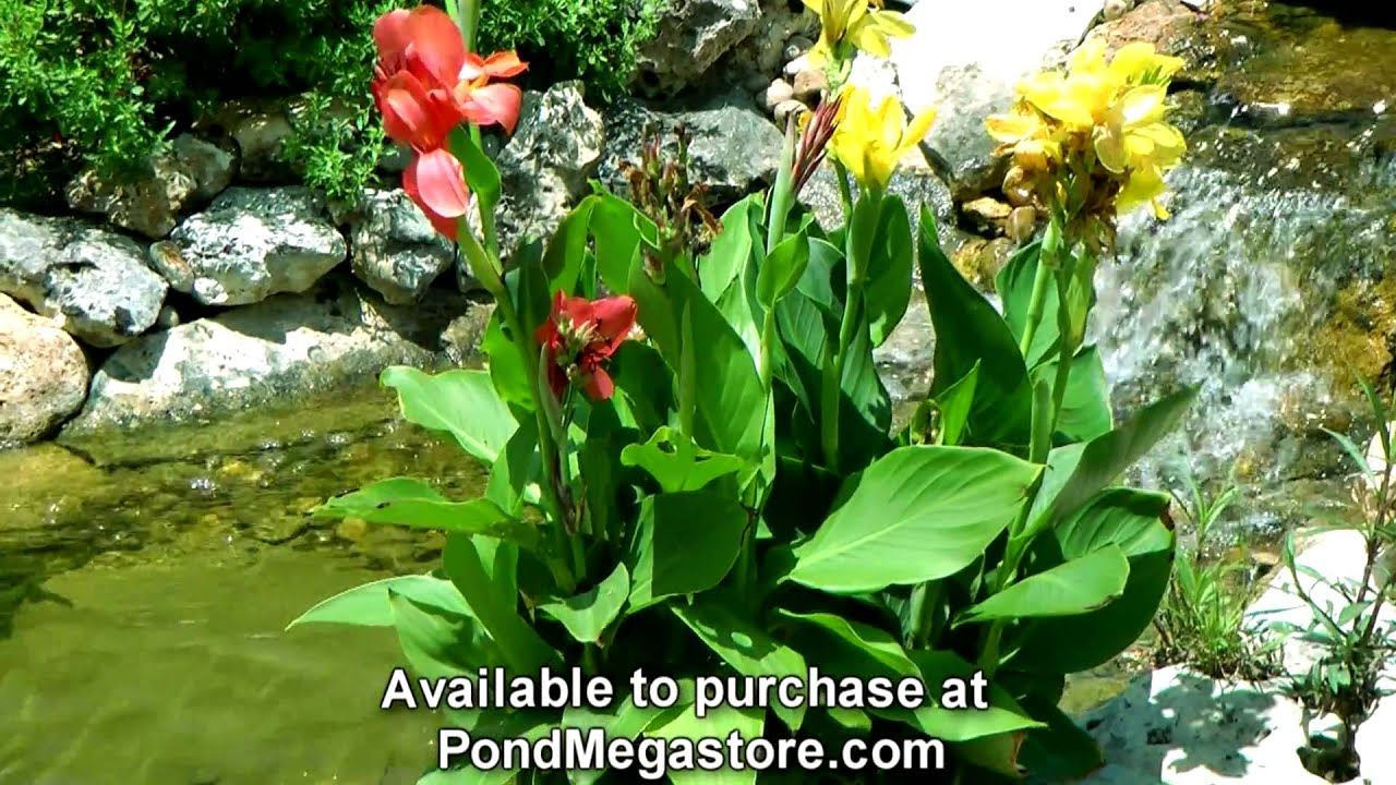 Aquatic Cannas In Water Garden Stream Grow Pond Plants Youtube