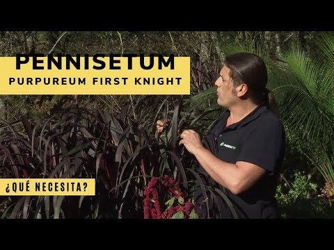 Pennisetum purpureum first knight: características y cuidados - Decogarden - Jardinatis