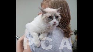 Кошка рэгдолл блю-пойнт с белым. Выставка кошек PCA on-line.