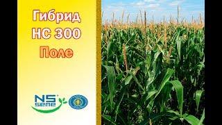 Гибрид НС 300. ФАО 360. Поле сербской кукурузы.