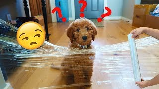 My PUPPIES Reaction To The Invisible Wall Challenge!
