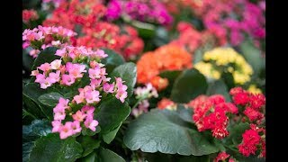 نبات كلانشو  من اجمل نباتات المزهرة -نباتات دائمة الخضر -Kalanchoe