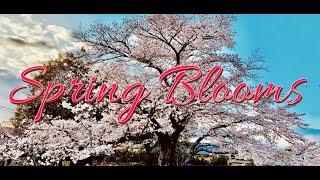 Spring Flowers in Japan | Flowers in Japan | Sakura Flowers in Japan | Cherry Blossoms in Japan screenshot 3