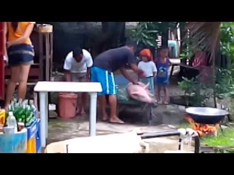 How to slaughter pig - Filipino way