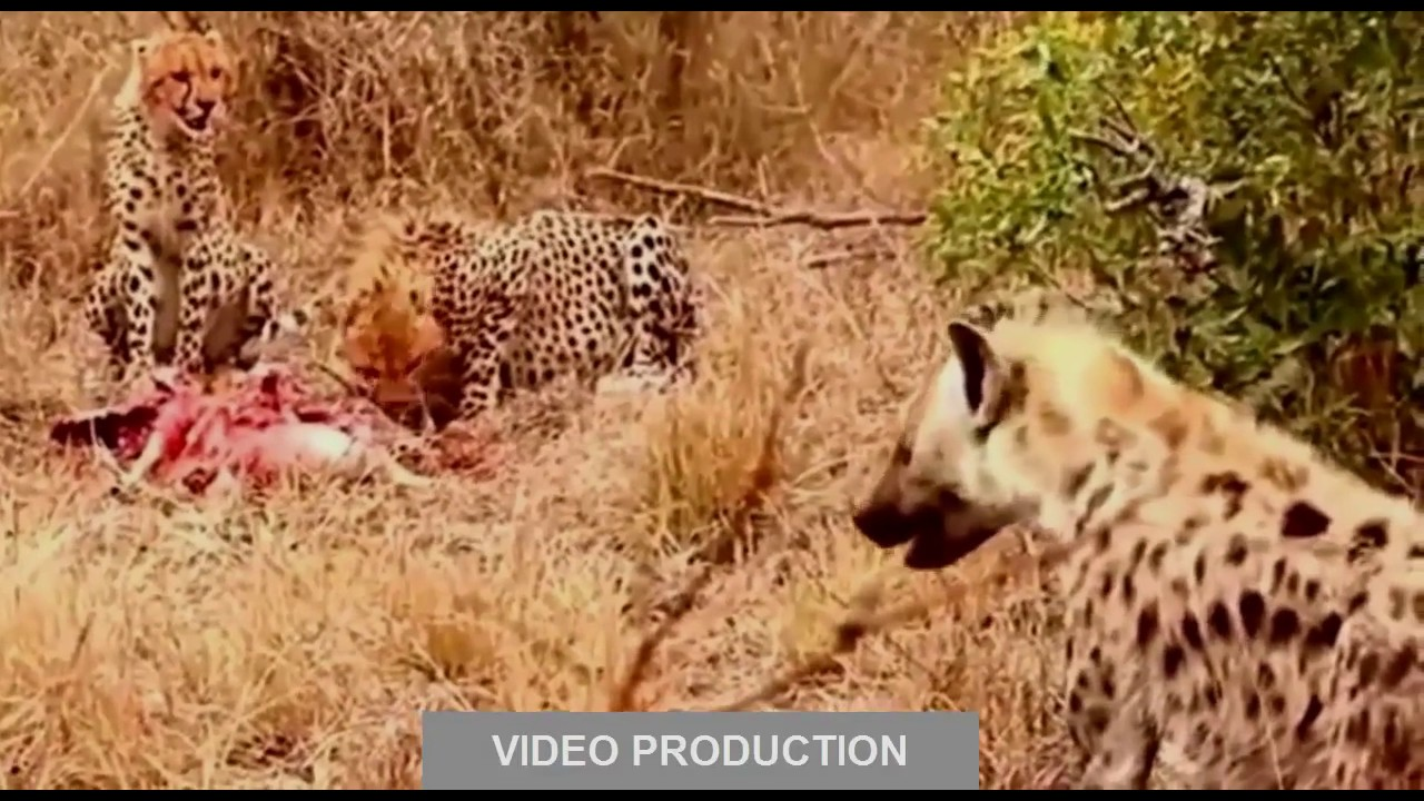 Lion Vs Hyena War | www.pixshark.com - Images Galleries ...