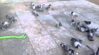 Funny Things | Funny Videos | Wooden Snake Toy And Pigeons
