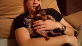 Cute puppy: Russian toy terrier: Той терьер мини