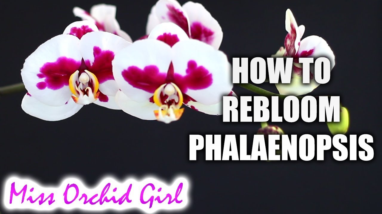 How To Rebloom Phalaenopsis Orchids Winter Summer Bloomers