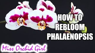 How to rebloom Phalaenopsis Orchids - Winter & Summer bloomers