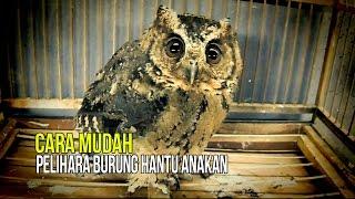 DUNIA HOBI : Tips Ampuh Pelihara Burung Hantu Anakan