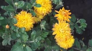 видео Ботаническая характеристика. Сорта
