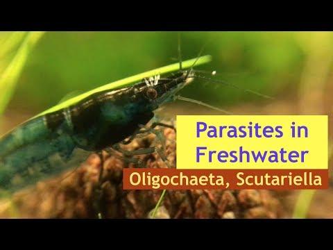 Borstenwürmer & Strüdelwürmer im Nano-Aquarium | Oligochaeta & Scutariella