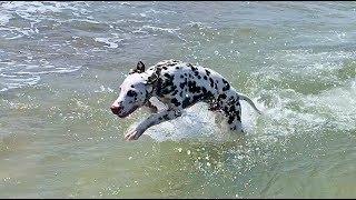 Dalmatian Puppy React to the Ocean