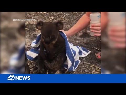 Koala Rescued From Fire By Couple Following Deadly Australian Bushfires