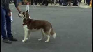 Собаки хаски на выставке. Husky dog at the show.