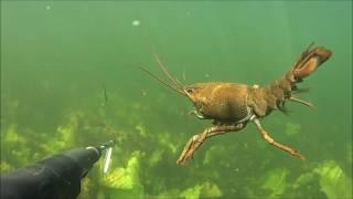 Подводная охота 2017-лещ 3 кг ,щуки и спасение раков из ловушки.