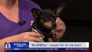 BLUEBELL - Fox 13 Best Friend from the Humane Society of Utah