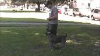 Troy Smith & Tito Pit Bull Obedience Training (los Angeles Dog Training) Part 1