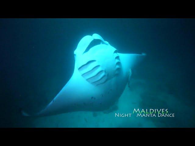 Maldeves night manta(ナイトマンタ)