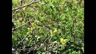 説明 庭先に毎日ウグイスが飛んできて、綺麗な鳴き声を聴かせてくれます。