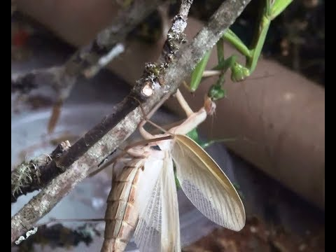 praying-mantis-lunch;-three-mantises-no-shame
