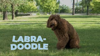 Labradoodle Dog Breed 101 – A Guide To The Labrador Poodle Mix