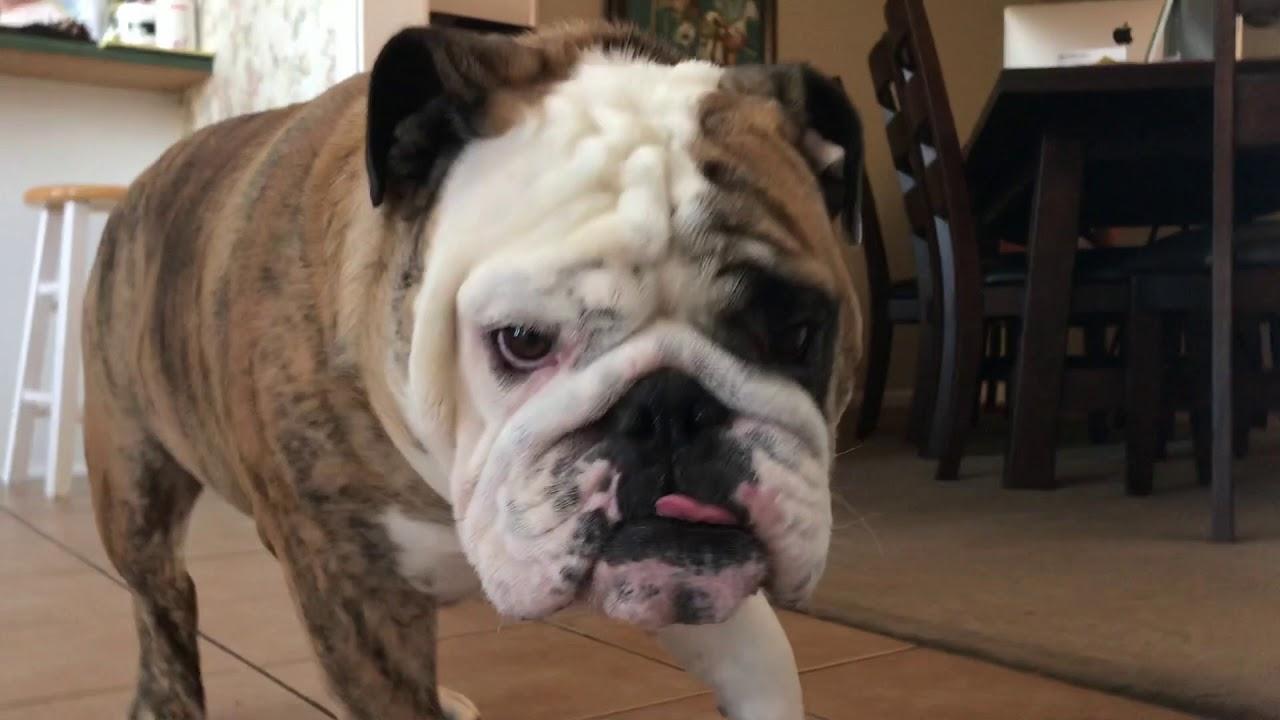 reuben-the-bulldog-cleanup-on-aisle-5