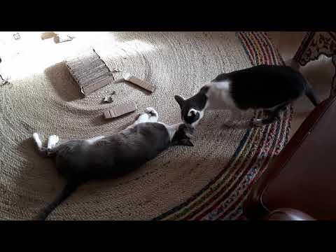 Chipper & Momo, our oriental shorthair cats 2019E05