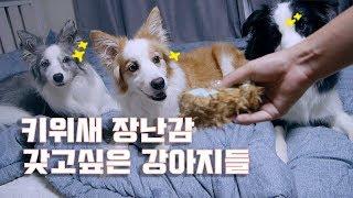 보더콜리 삼둥이들의 최애 키위새 등장!!!! / 강아지 유튜브