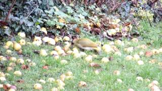 This video previously contained a copyrighted audio track. Due to a claim by a copyright holder, the audio track has been muted. Green woodpecker eating apples