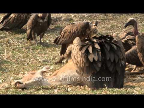 Slender billed vultures converge upon dead deer in Sikkim