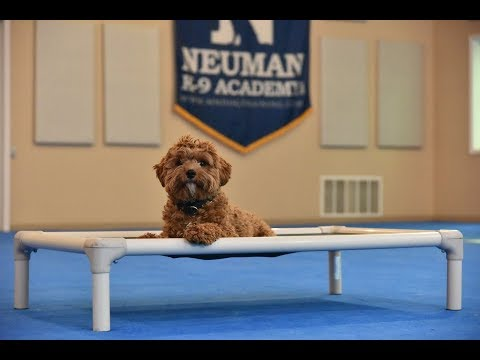 Bryce (Cavapoo) Boot Camp Dog Training Video Demonstration